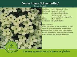 Cornus Kousa Schmetterling : chinese kornoelje cornus kousa 39 schmetterling 39 ~ Michelbontemps.com Haus und Dekorationen