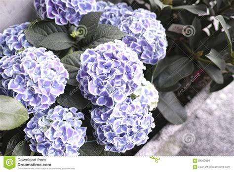 significato dei fiori ortensia dettaglio dei fiori di ortensia fotografia stock