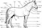Horse Coloring Realistic Printable Bubakids sketch template