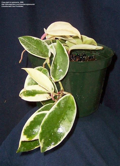 plantfiles pictures hoya variegated wax plant wax plant