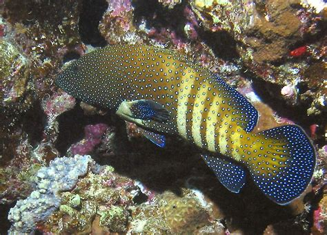 grouper peacock fish cephalopholis species underwater hawaii egypt coral arus groupers found its highlights diving coloring australia typical spots roi