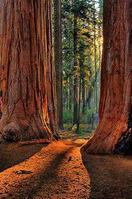 California Sequoia Redwood National Park