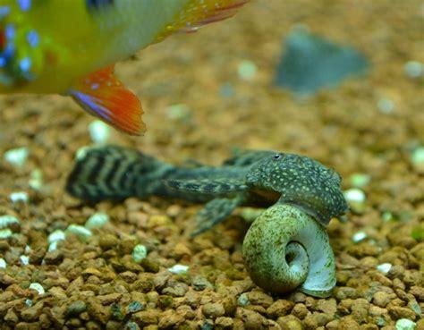 Un Prédateur Pour Les Escargots D'aquarium