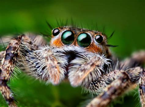 beautiful macro photography  jumping spiders