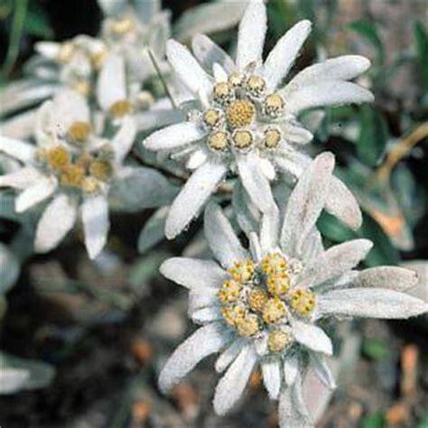 la stella alpina fiore fiore della stella alpina