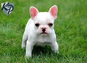French Bulldog Puppy Sale
