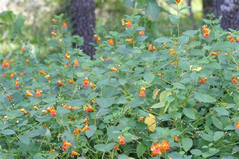 Jewelweed Images Growing Hermione S Garden Impatiens Capensis Spotted