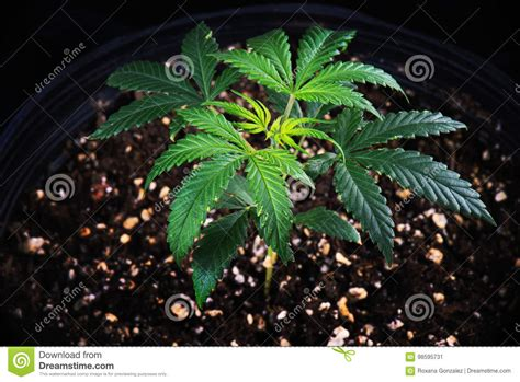 Potted Cannabis Plant Green Crack Strain Growing In Soil