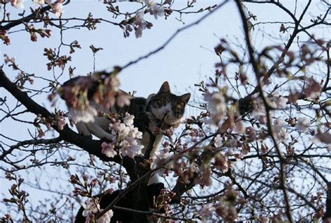 cherry blossom tree cats animals