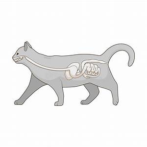 Digestive System Of The Cat Vector Illustration Stock