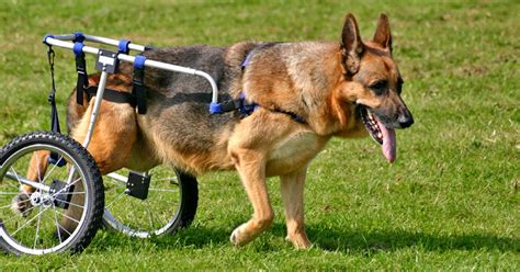 adaptations  disabled dogs  honest kitchen blog