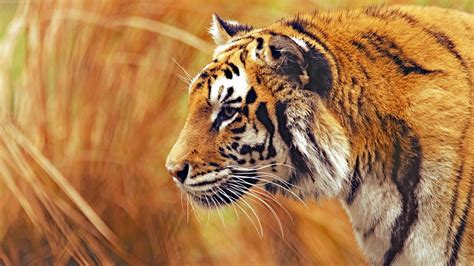 wallpaper animals photography tiger wildlife big