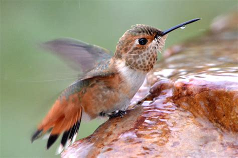 attract hummingbirds with water