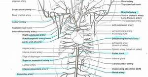 34 Cat Veins And Arteries Diagram