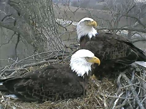 keeper of the zoo the iowa eagles are back watch them live