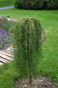 Petit Arbre Persistant : sauver un arbuste sur tige fendu jardinier paresseux ~ Melissatoandfro.com Idées de Décoration