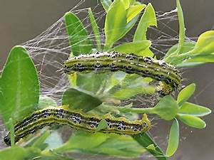 Buxbaum Raupen Bekämpfen : cydalima perspectalis buchsbaum z nsler box tree moth ~ A.2002-acura-tl-radio.info Haus und Dekorationen