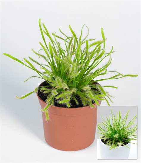 sonnentau pflanze pflege fleischfressende pflanze sonnentau 1a qualit 228 t baldur garten