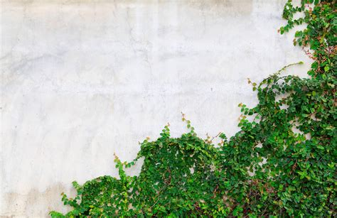ivy wall wallpaper muralswallpaper