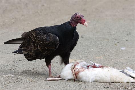 file turkey vulture feeding jpg wikipedia