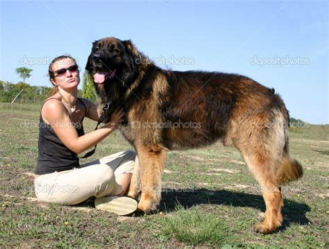 tempered glass cutting board heat resistant 17 best images about leonbergers on beautiful
