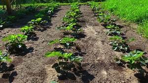 Erdbeeren Richtig Pflanzen : erdbeere pflanzen erdbeeren pflanzen der verlauf vom ~ Lizthompson.info Haus und Dekorationen