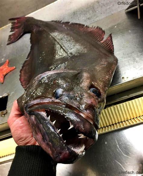 heilbutt simfischde angeln und outdoor