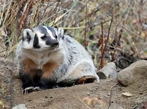 42 best images about Woodland - Badger on Pinterest ...