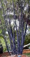 25+ best ideas about Clumping bamboo on Pinterest clumping bamboo garden