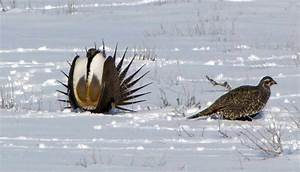 Greater Sage-Grouse - eBirdr
