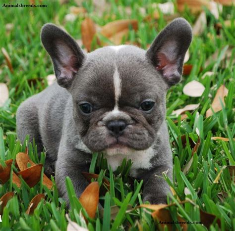 do bulldogs shed bulldog puppies rescue pictures information
