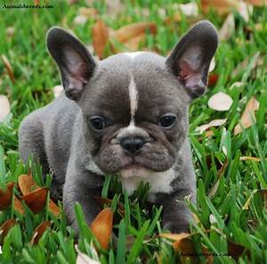 French Bulldog - Puppies, Rescue, Pictures, Information ...