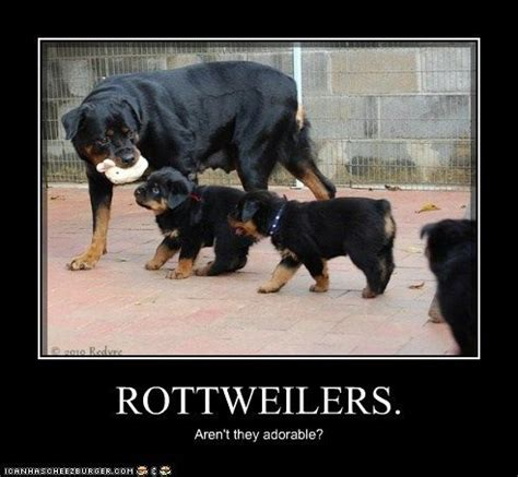 Rottweiler Memes - 117 best rotties images on pinterest dog cat doggies and dog clothing