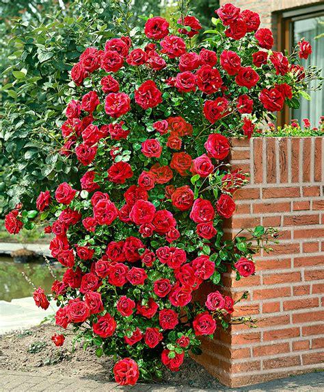 pictures of climbing roses climbing rose santana 174 bakker com