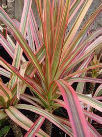 dracaena marginata gardenologyorg plant encyclopedia