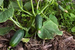 How to Plant Cucumber Seeds | eBay