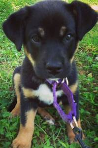 Rottweiler lab mix - Labrottie all information you want to ...