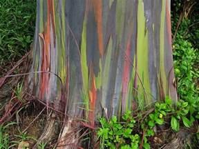 australian rainbow eucalyptus tree trees around the world pinter