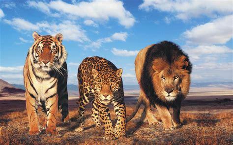 tiger  lion wallpaper sf wallpaper