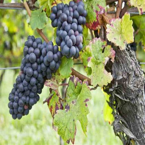 how do grape vines grow growing grapes and making homemade wine real food mother earth news