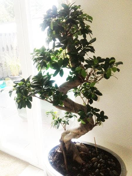 bonsai ficus pflege pflege bonsai baum indoor granitplatte terrasse