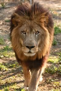 Lion Big Cat Rescue Joseph
