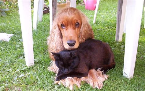 File Er  Ee  Spaniel Ee   And Cat Are Friends Jpg Wikimedia