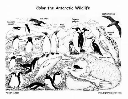 Antarctica Coloring Animals Pages Arctic Antarctic Printable