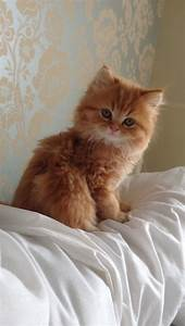 PERSIAN KITTEN - My Beautiful Ruby ( Red Doll Faced ...