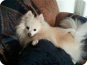 CASH | Adopted Dog | Hesperus, CO | Pomeranian/American ...