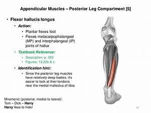 U58ee U5927 Identify The Extensor Digitorum Longus Muscle