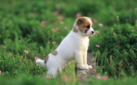 Pretty Dog wallpaper puppies free hd for desktop   HD