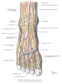 similiar foot veins keywords, Cephalic Vein