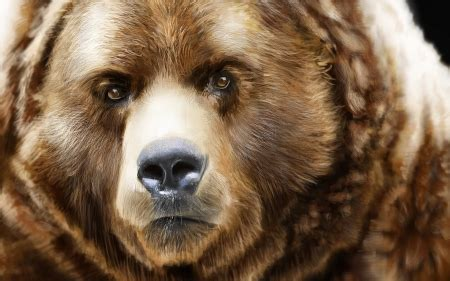 bearish grizzly bear face close  bears animals